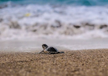 Bébé tortue se dirigeant vers l'océan à Mayotte. Photo: Sea Shepherd